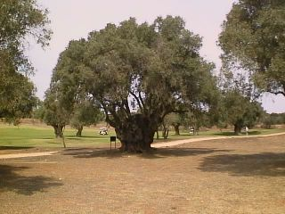 A 1.200 year old olive tree is one of the local obstacles